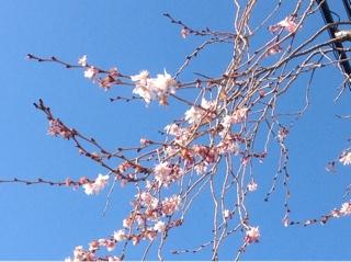 桜が咲いた??
