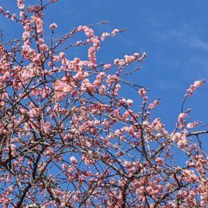 梅の花 ✨